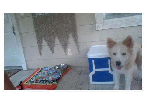 Chow Husky mix puppy (Chusky)